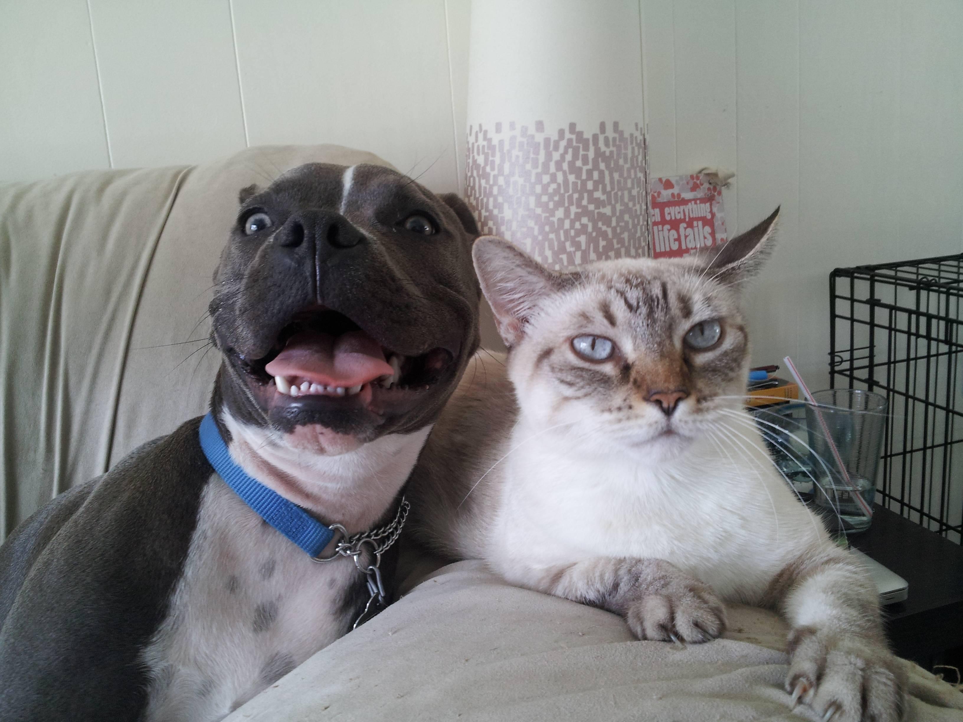 Pitbull Dog Quotes Cat Hates Pitbull Dog's Happiness So Much