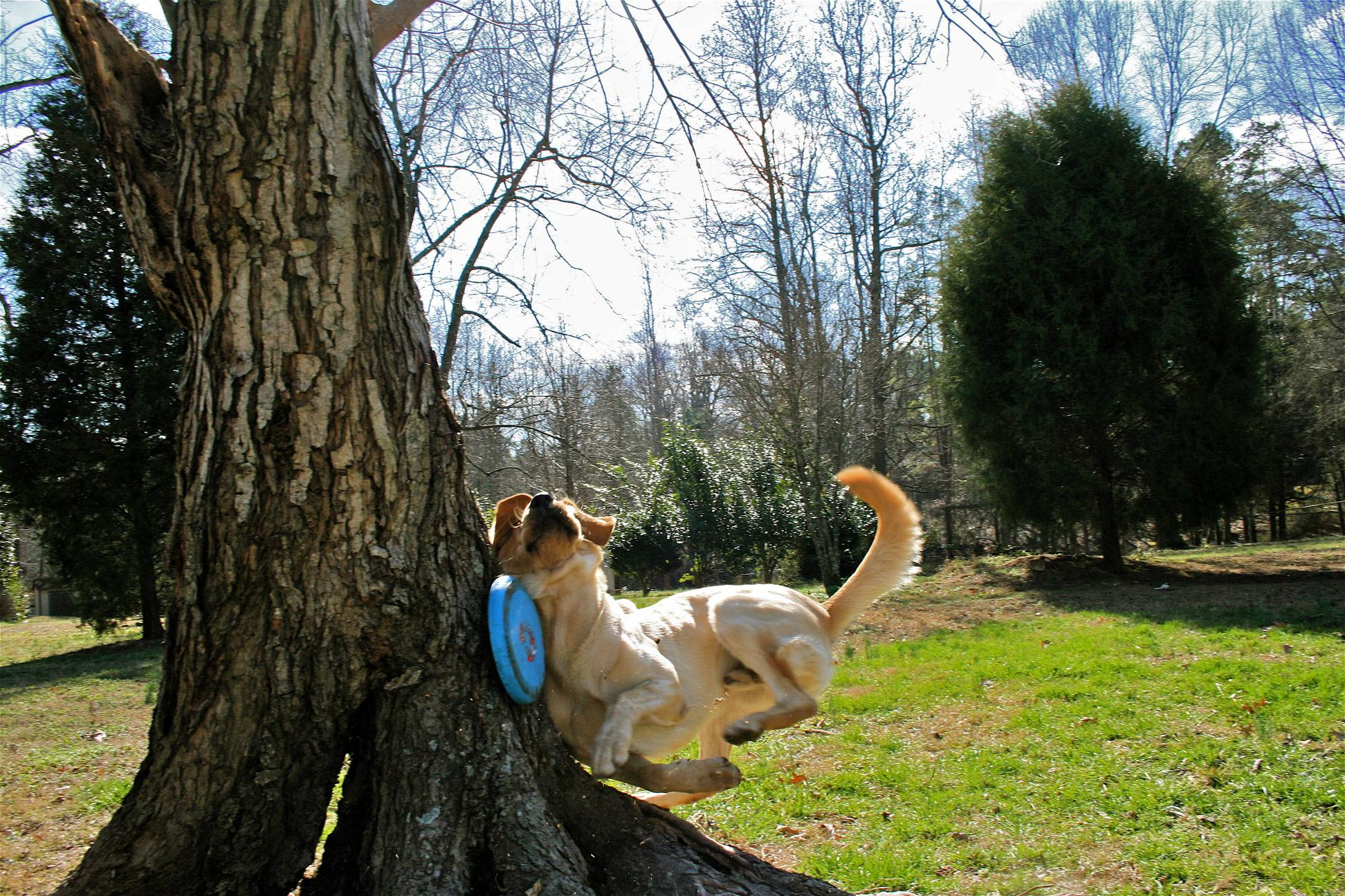 Dog Meets Tree While Playing Fetch In The Park With a Frisbee dog meets tree while playing fetch in the park with a frisbee