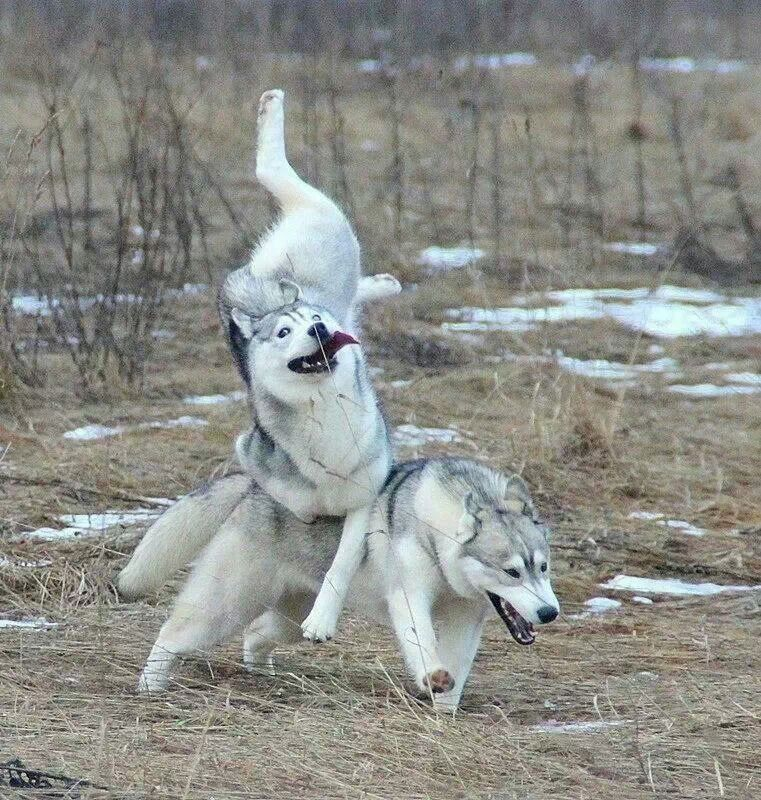 Husky Dog Memes Husky Dog Goes Moon Moon