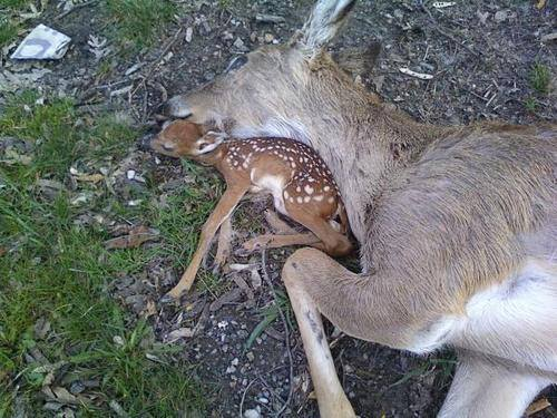 Baby Fawn Sleeps Next To Its Dead Mother In Sad Nature Moment